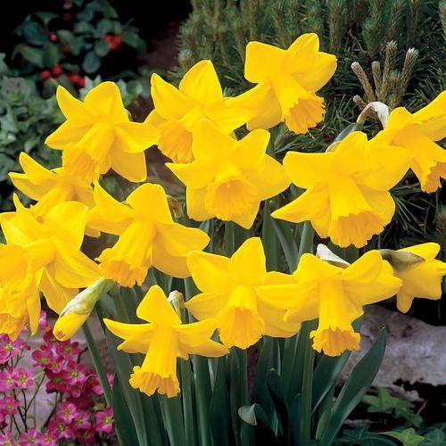 King Alfred Improved Daffodil