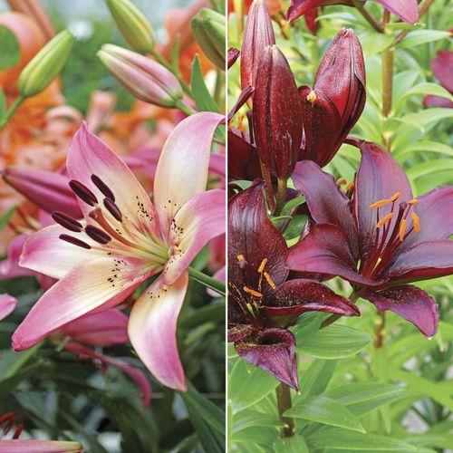 Asiatic Lilium Combo