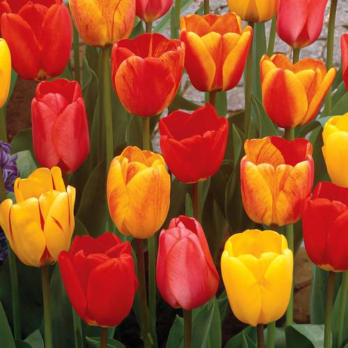 Darwin Hybrid Tulip Mix - Pack of 20