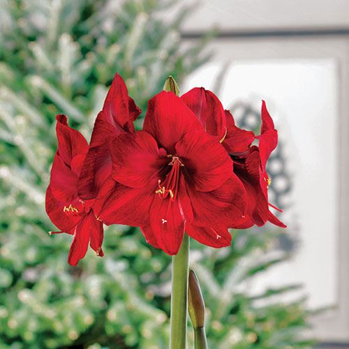 Starry Night Red Lion Amaryllis