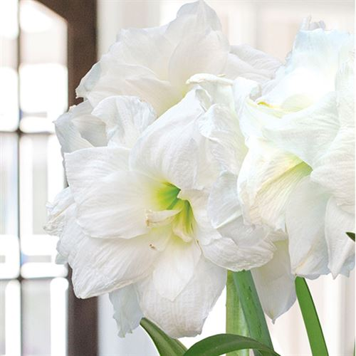 Wings of an Angel Amaryllis