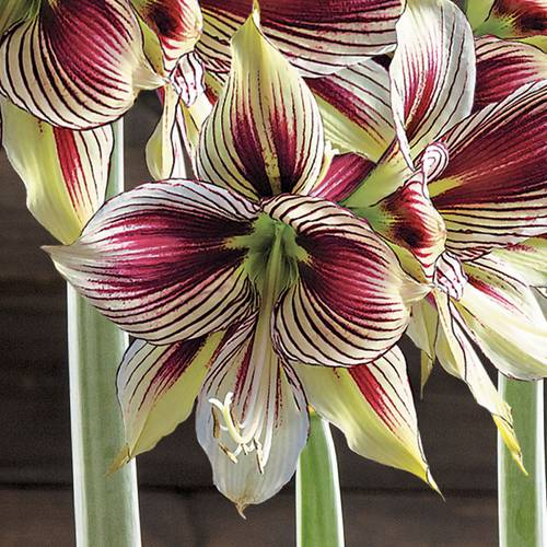 Festive & Fanciful Amaryllis - Triple