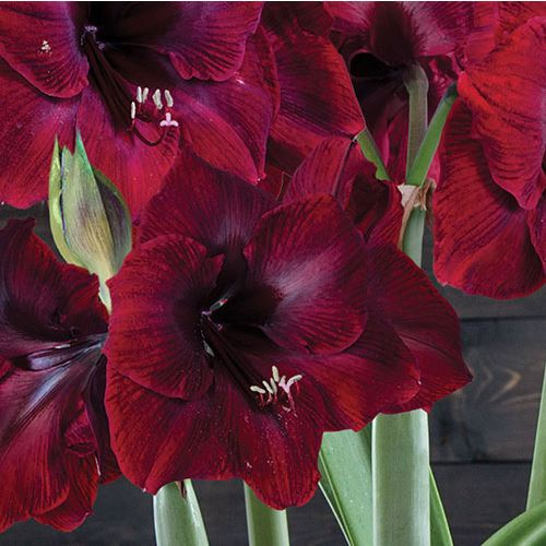 Golden Glow Grand Diva Amaryllis - Triple