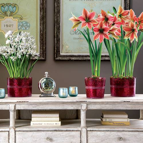 Holiday Celebration Amaryllis - Triple