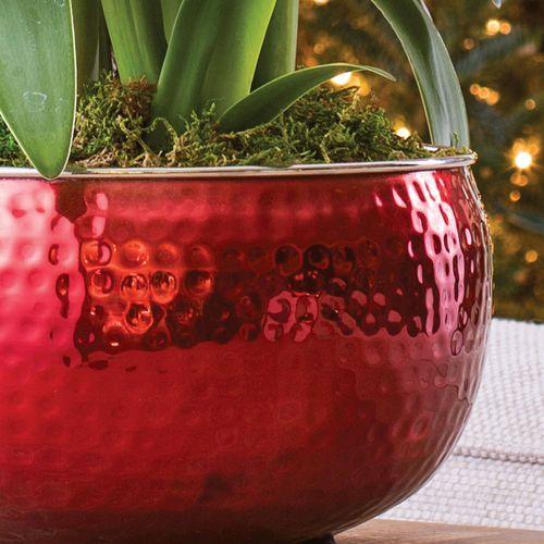 Ruby Red Amaryllis - Triple