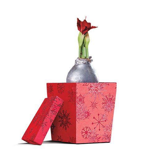 Silver Waxed Amaryllis Bulb with Gift Box