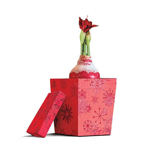 Snowy Waxed Amaryllis with Gift Box