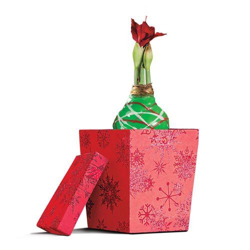 Gloss Green Pattern Waxed Amaryllis with Gift Box