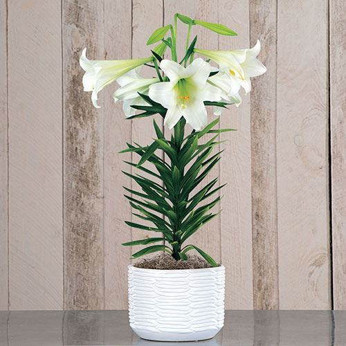 12-Month Flowering Gift Plant Club