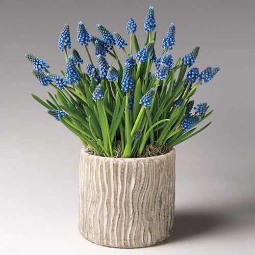 Blue Muscari in Zinc Container