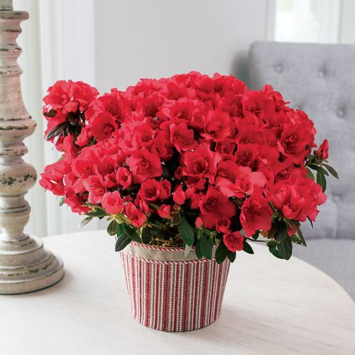 Ravishing Red Azalea