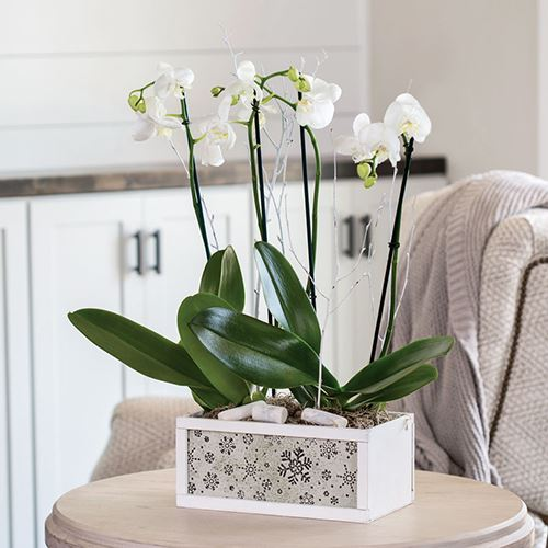 Enchanting Orchid Gift