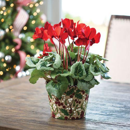 Charming Christmas Cyclamen