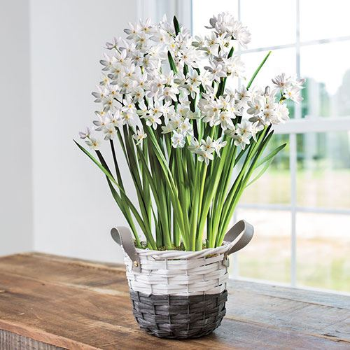 Meadow White Paperwhites