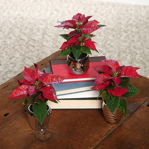Winter Wishes Poinsettias Trio