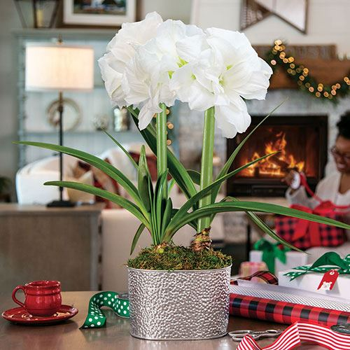 Shine Bright Amaryllis - Double