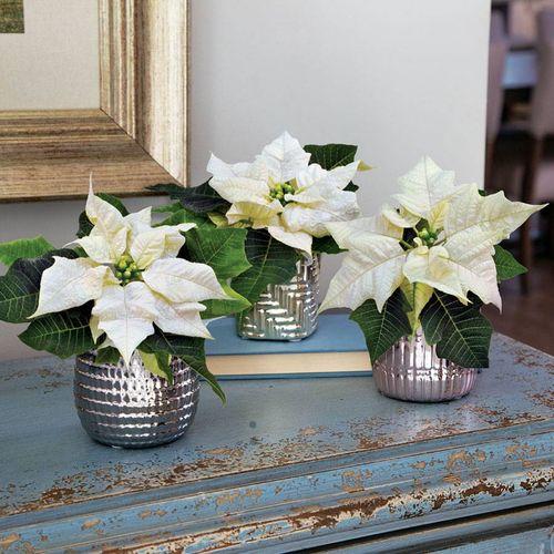 Elegant Dreams Poinsettia Trio - White