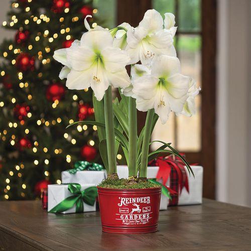 Country Christmas Amaryllis - Triple