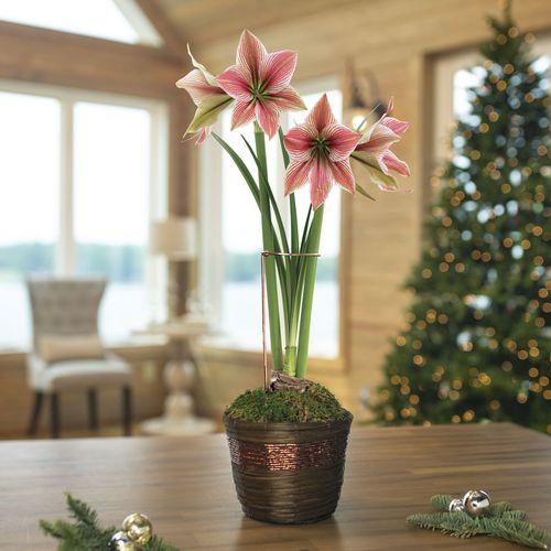 Shimmering Holiday Amaryllis - Single