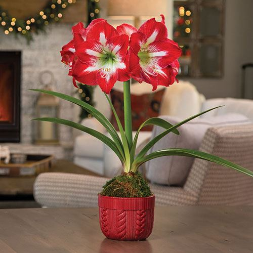 Peppermint Cocktail Amaryllis