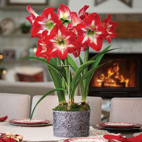 Christmas Cocktail Amaryllis - Triple