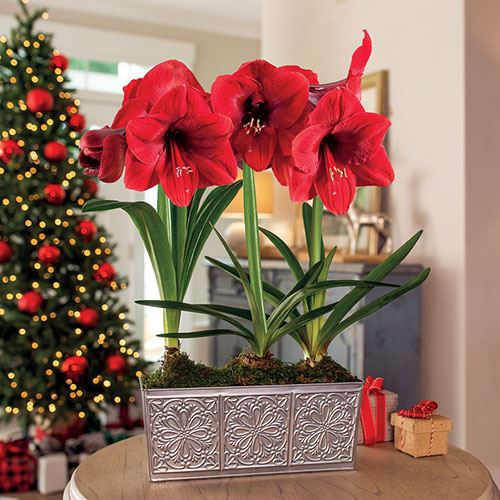 Home for Christmas Amaryllis - Triple