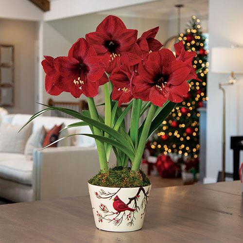 Winter Wishes Amaryllis