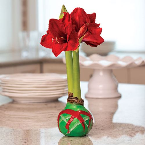Green Swirl Waxed Amaryllis