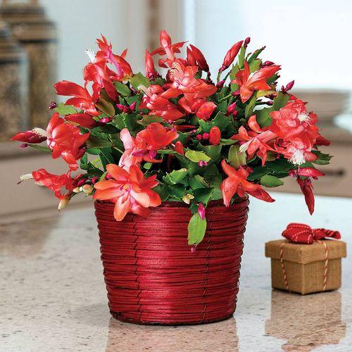Basket of Cheer Christmas Cactus