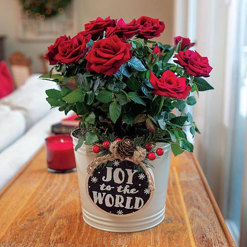 Joyous Red Rose