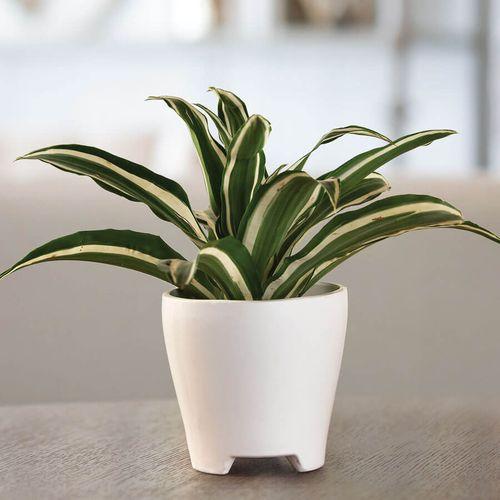 Dracaena Warneckii Houseplant