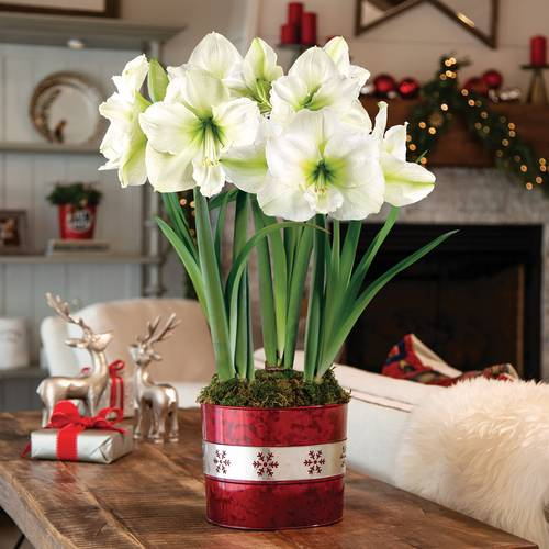 Frosted Snow Amaryllis - Triple