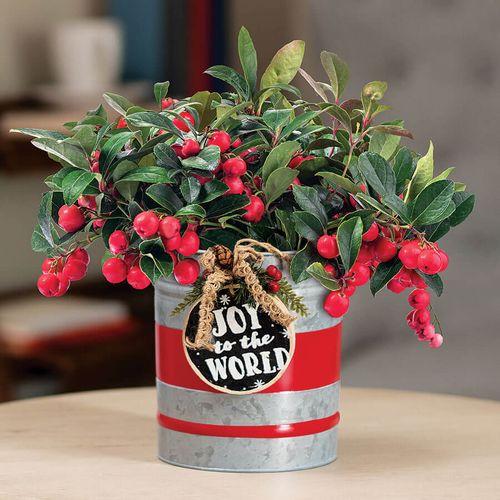 Bountiful Wintergreen