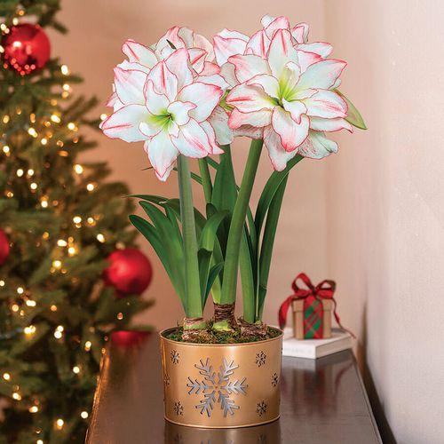 Festive Flurry Amaryllis - Triple