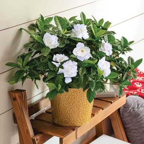 Glamorous Gardenia
