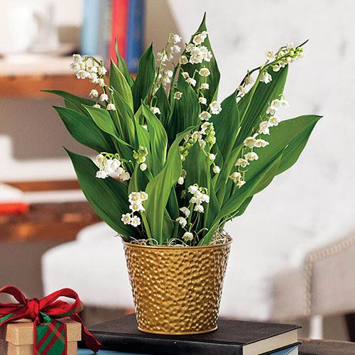 Joyful Lily of the Valley