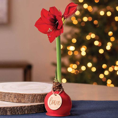 Red Waxed Amaryllis with Love Ornament