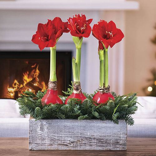 Rustic Waxed Amaryllis Evergreen Centerpiece
