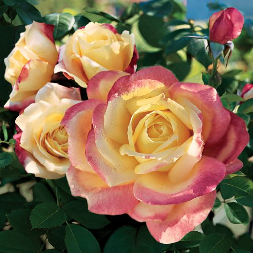Bella'roma Hybrid Tea Rose