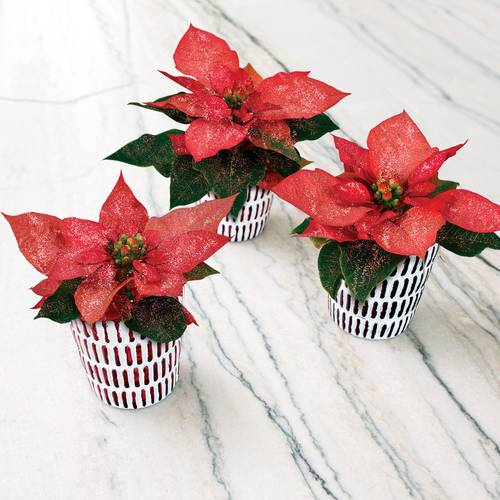 Wee Three Poinsettias Trio