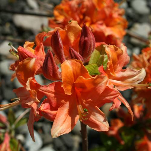 Rhododendron 'Mandarin Lights'