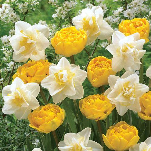 Tulip Daffodil Moon & Stars Mix
