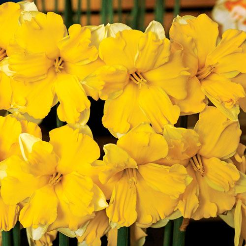 Narcissus Banana Daiquiri