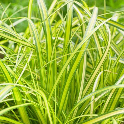 Carex EverColor® 'Eversheen'