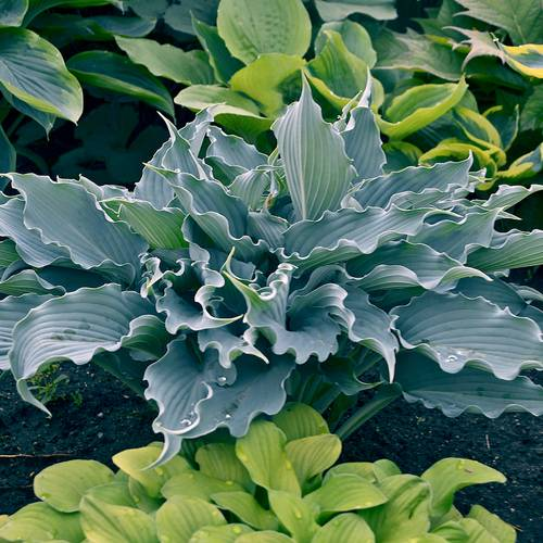 Hosta Shadowland® 'Waterslide'