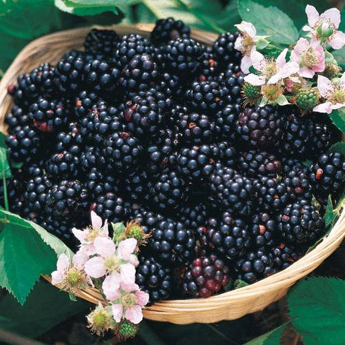 Blackberry 'Triple Crown'