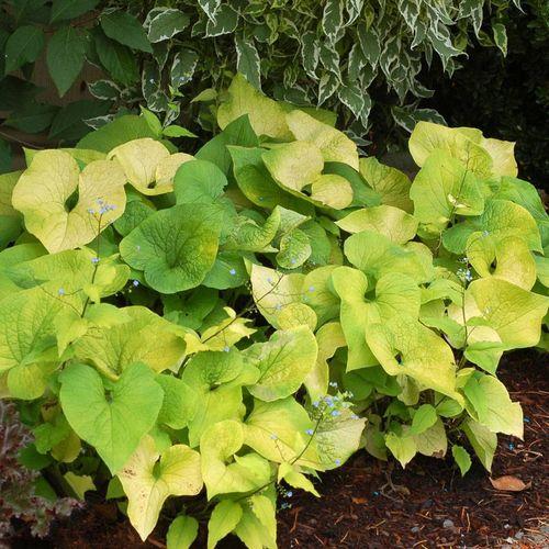 Brunnera macrophylla 'Diane's Gold'