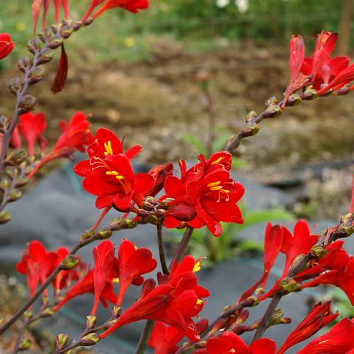 Crocosmia Nova™ 'Dragonfire'