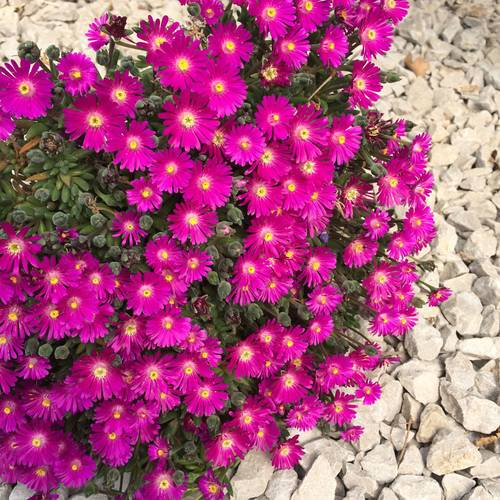 Delosperma 'Jewel of Desert Opal'