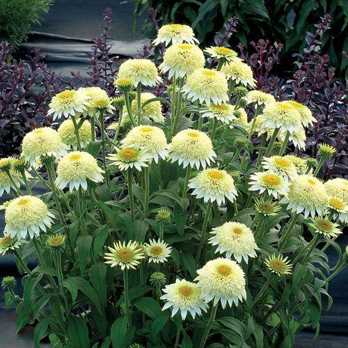 Echinacea PUFF® Vanilla